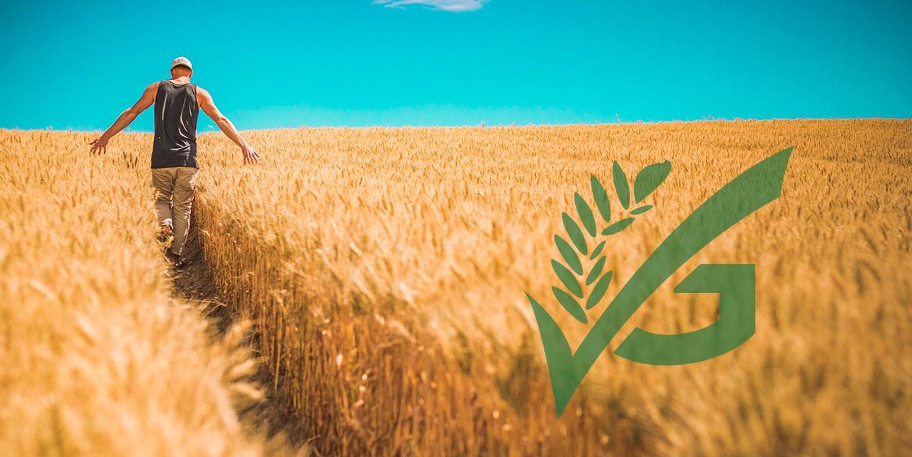 Mann streift durch Händen durchs Weizenfeld
